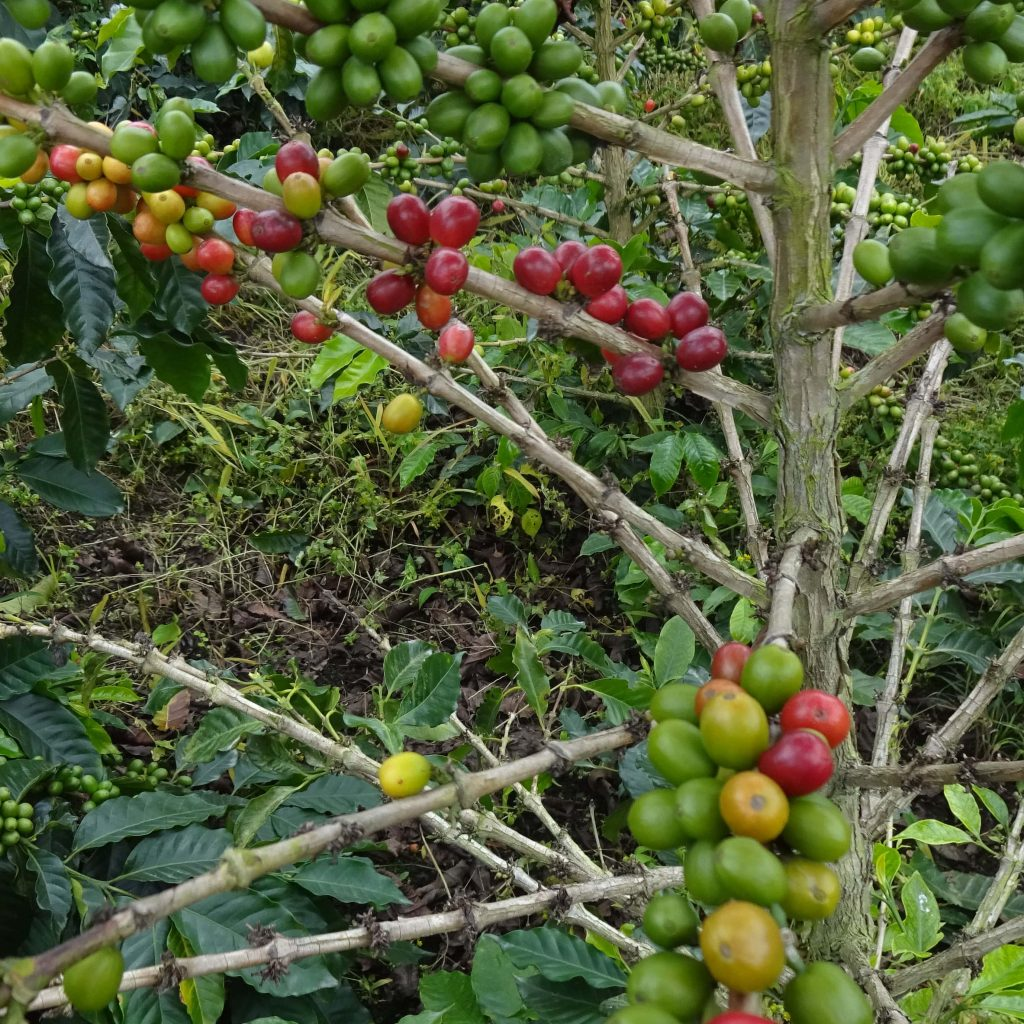 Coffee Plant Popoyan